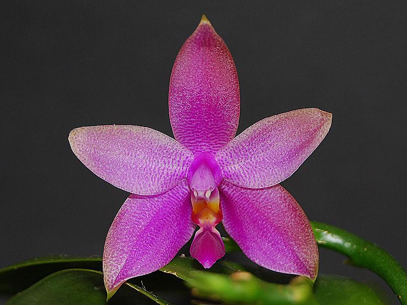 phalaenopsis violacea variabilit t einer art seite 3 orchideenforum. Black Bedroom Furniture Sets. Home Design Ideas